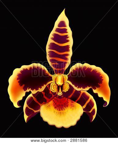 Rossioglossum Orchid