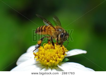 Honey Bee And Flower In The Gardens