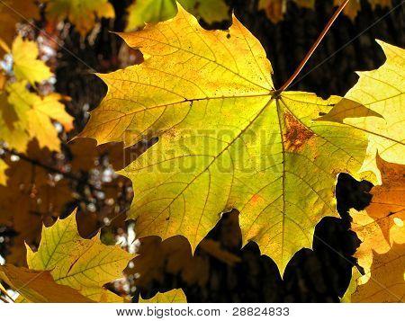 Sunny Maple Leaf