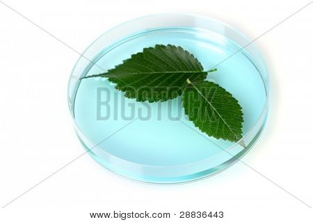 Genetically modified plant tested in petri dish isolated on white