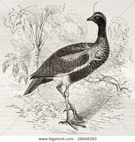 Horned Screamer old illustration (Anhima cornuta). Created by Kretschmer and Illner, published on Merveilles de la Nature, Bailliere et fils, Paris, ca. 1878