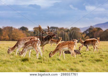 poster of Wild Irish Fauna, A Herd Of Wild Deer Which Roam And Graze In Phoenix Park, Dublin, Ireland
