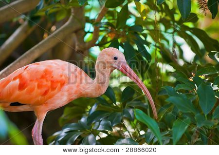 Young Scarlet Ibis