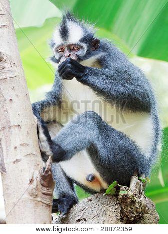 Thomas's leaf monkey. Bukit Lawang, Gunung Leuser National Park, Sumatra.