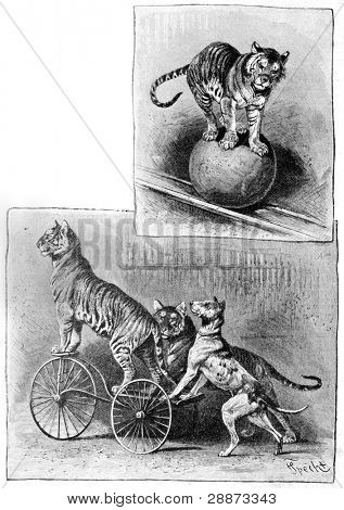 Trained dog and the tiger. Engraving by Specht. Published in magazine