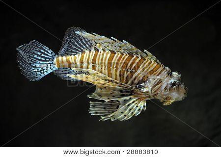 Lion fish on black background