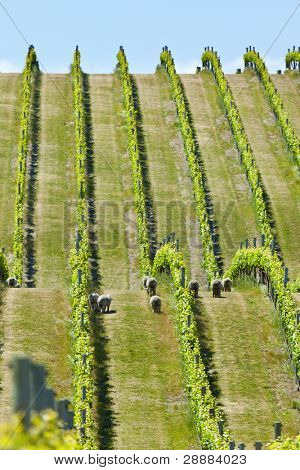 Vineyard in Marlborough wine region in New Zealand