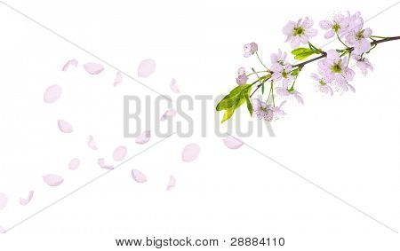 cherry-tree flowers isolated on white background
