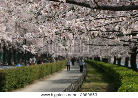Cherry Blossom Trees In Park Along River In Japan