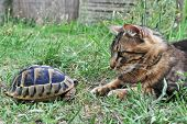 foto of testudo  - Testudo hermanni tortoise meeting a norwegian cat in a garden - JPG