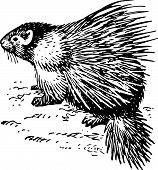 pic of splayed  - Porcupine sitting on the ground on white background - JPG