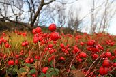 pic of murmansk  - Wet red berry in the northern mountain forest near Murmansk Russia - JPG