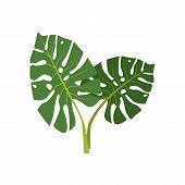 Exotic Monstera Illustration. Nature, Flora, Summer. Nature Plants Concept. Vector Illustration Can  poster