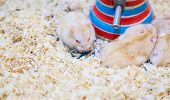 Cute Exotic Red-eyed Lilac Dwarf Campbell Hamster Eating Pet Food. Campbell Hamster Is Known As Russ poster