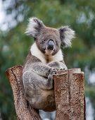 Portrait Cute Australian Koala Bear With Big Hairy Ears Sitting In An Eucalyptus Tree And Looking Wi poster