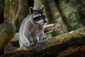 Raccoon - Procyon Lotor Also Common Raccoon, North American Raccoon, Northern Raccoon, Or Coon, Is A poster