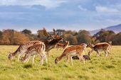 Wild Irish Fauna, A Herd Of Wild Deer Which Roam And Graze In Phoenix Park, Dublin, Ireland poster
