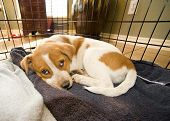 image of cattle dog  - Texas red heeler pup in crate 11 weeks old - JPG