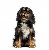 Cross breed with Cavalier King Charles Spaniel sitting in front of white background poster