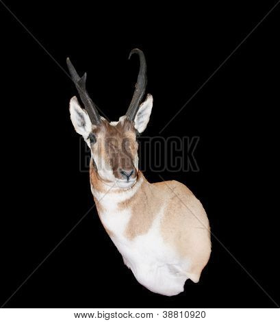 North American Pronghorn Antelope (Antilocapra americana) on a black background