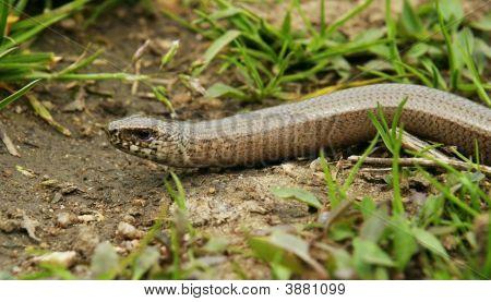 Anguis Fragilis Snake