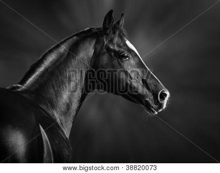 Schwarz-weiß-Porträt des arabischen Hengstes