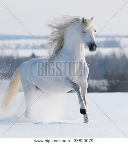 White stallion galloping on snow field