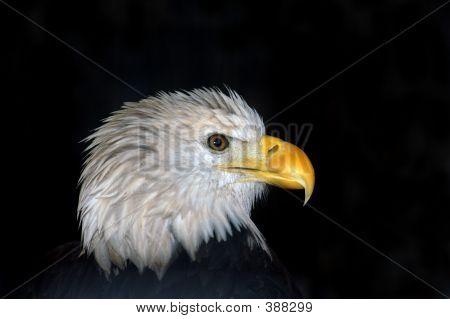 Bald Eagle In Profile