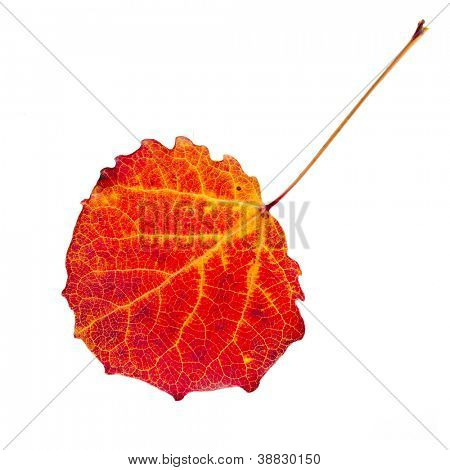 colored autumnal aspen leaf isolated  on white background