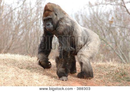 Gorilla Male