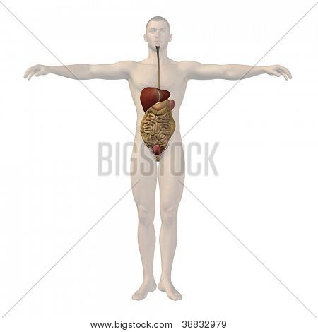 High resolution concept conceptual anatomical human or man 3D digestive system isolated on white background as metaphor to anatomy,medical,body,stomach,medicine, intestine,biology,internal or digest