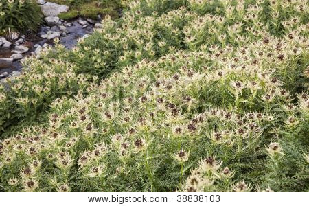Thistle field after blooming next to water stream in wilderness.