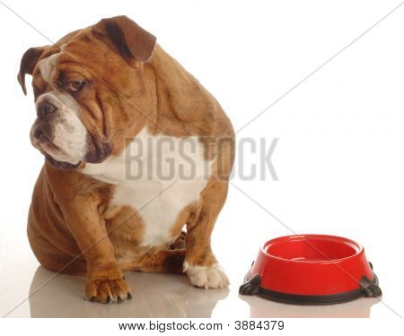 English Bulldog With Empty Bowl