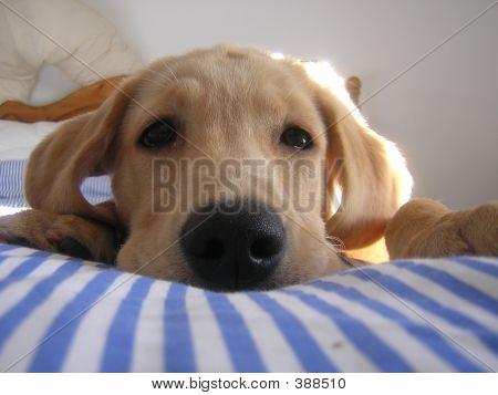 Cute Golden Labrador