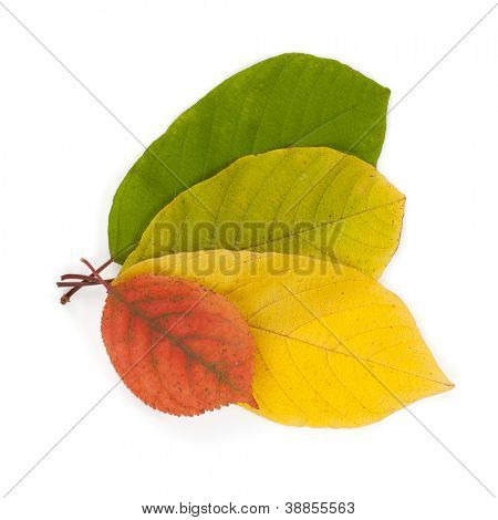 Autumn color leaves. Isolated on white background