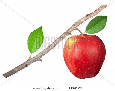 Dry branch with apple