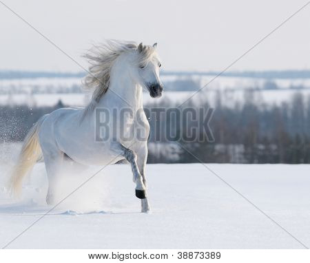 White stallion galloping on snow field