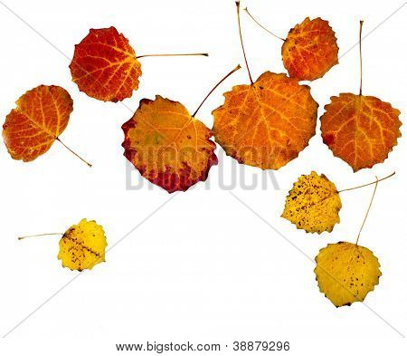 colorful autumn aspen leaves isolated  on white background