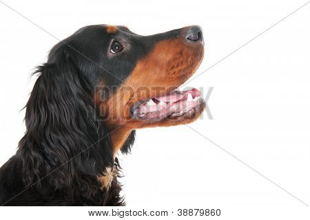 Head of a gordon setter sidewards