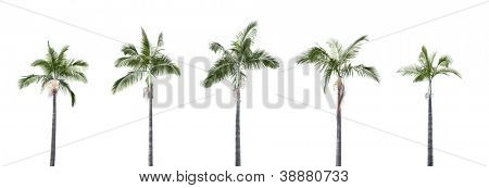 Panorama shoot for group of plam trees isolated on white background in park.