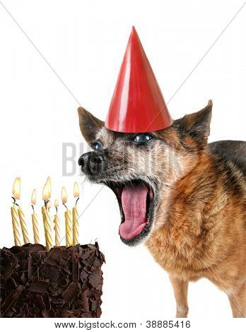 a cute chihuahua with birthday cake and a party hat on