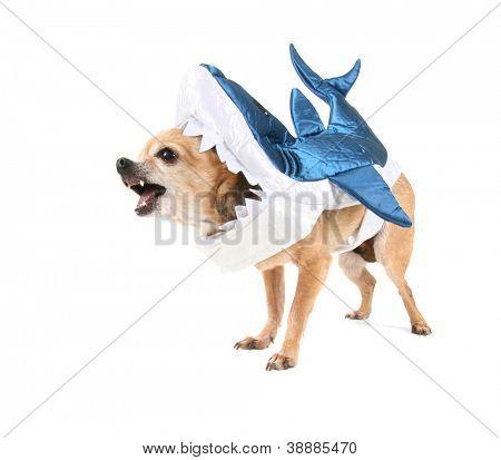 eine süße Chihuahua in einem Hai Kostüm