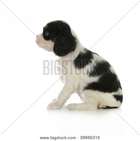 cute puppy - cavalier king charles spaniel puppy sitting looking up isolated on white background