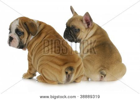 two puppies - english and french bulldog puppies looking over shoulders isolated on white background 8 weeks old