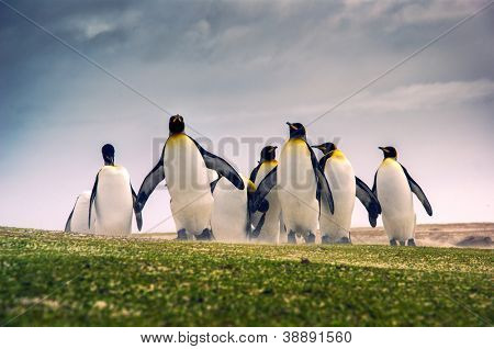 King Penguins in the Falkland Islands