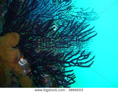 Sea Fan In Ocean Of Coast Cabo