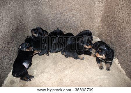 A Rottweiler herd