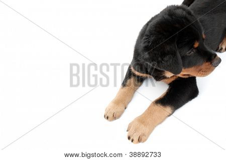 An isolated rottweiler puppy on a white background.