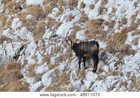 Carpathian chamois in Piatra Craiului Mountains