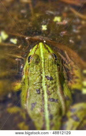 Frog Pond - Pelophylax esculentus